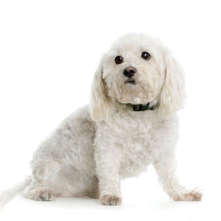 maltese dog sitting in front of white background Stock Photo - 555553
