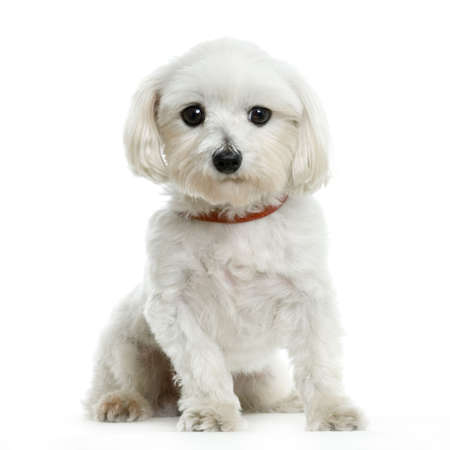 maltese dog sitting in front of white background Stock Photo - 555555