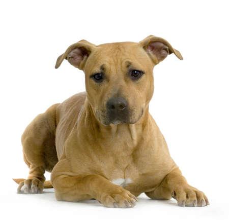 bajo y fornido: American Staffordshire terrier avellano se extiende delante de fondo blanco