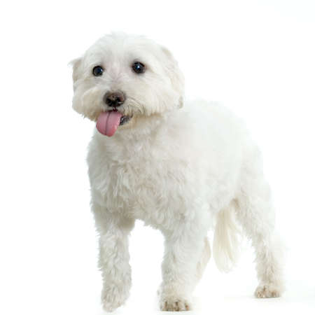 maltese dog standing in front of white background Stock Photo - 555529