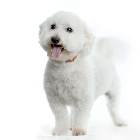 maltese dog standing in front of white background Stock Photo - 555530