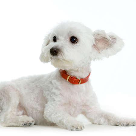 maltese dog lying in front of white Stock Photo - 555526
