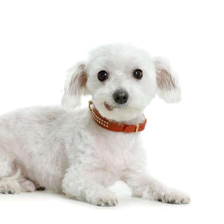maltese dog lying in front of white Stock Photo - 555513