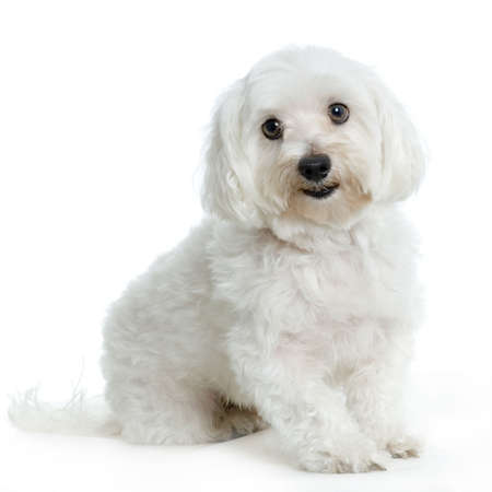 lap dog: maltese dog sitting in front of white background