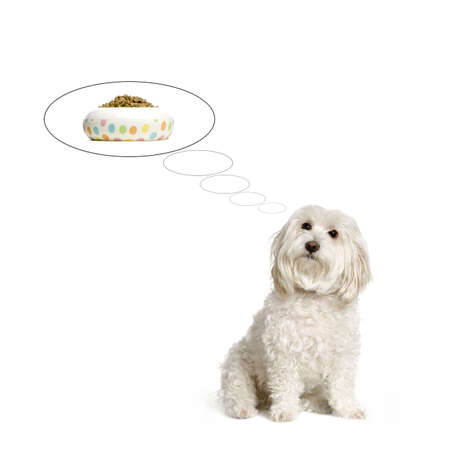 creativ: maltese dog thinking about his dinner time in front of white background