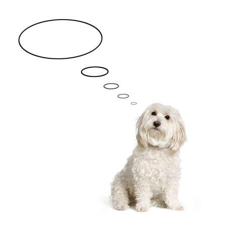 maltese dog thinking in front of white background photo