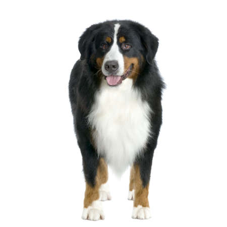 front facing: Bernese mountain dog standing in front of white background and facing the camera
