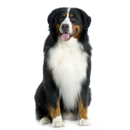 mountain dog: Bernese mountain dog sitting in front of white background Stock Photo