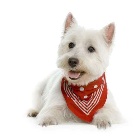 obedient: West Highland Terrier White lying in front of white background with a red scarf Stock Photo