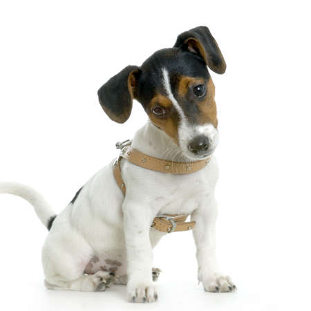 Jack russel sitting in front of white background photo