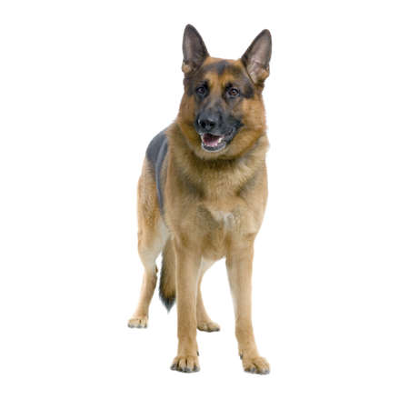 shephard: german shepherd standing in front of white background Stock Photo