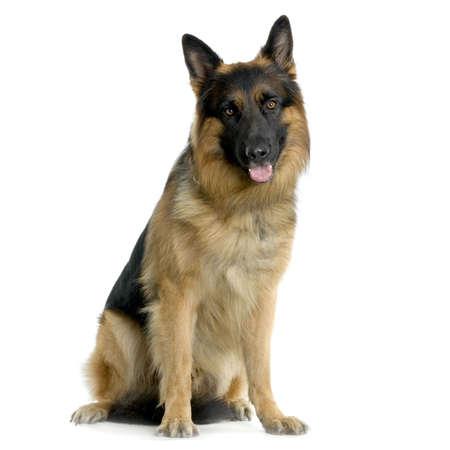 perro policia: Pastor alem�n sentado delante de fondo blanco  Foto de archivo