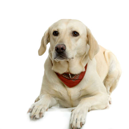 Labrador retriever cream wearing a red scarf in front of white background and facing the camera Stock Photo