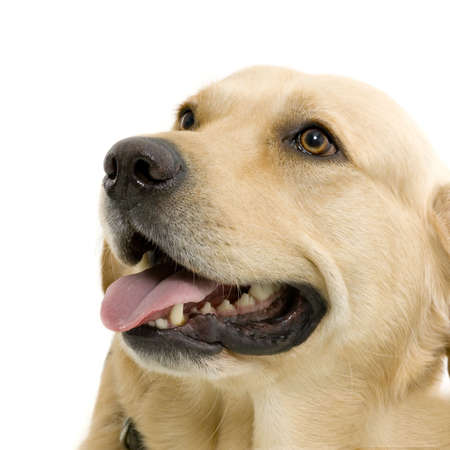fond: labrador adulte en gros plan devant un fond blanc Stock Photo