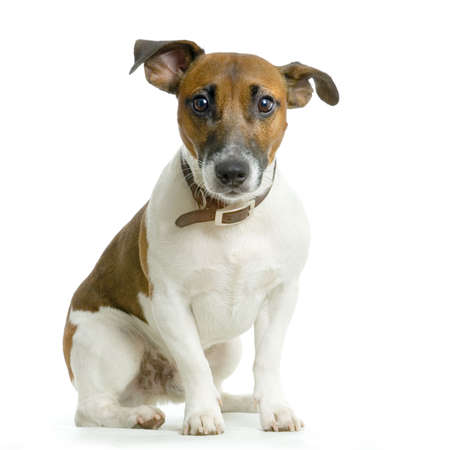 lap dog: Jack russel terrier sitting in front of white background Stock Photo