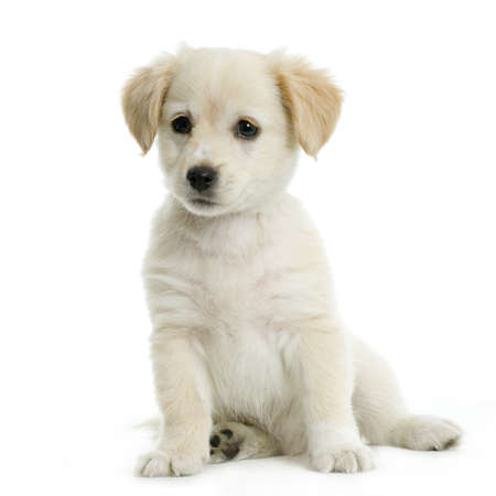 Puppy  Labrador retriever cream in front of white background and facing the camera Stock Photo