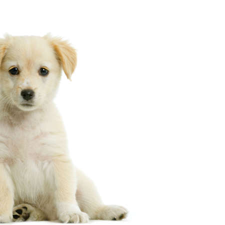 front facing: Puppy  Labrador retriever cream in front of white background and facing the camera Stock Photo