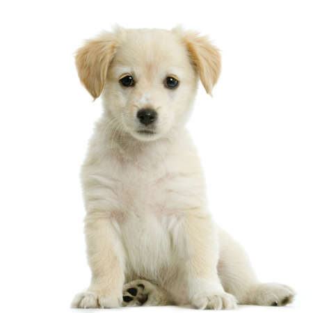labrador puppy: Puppy  Labrador retriever cream in front of white background and facing the camera Stock Photo