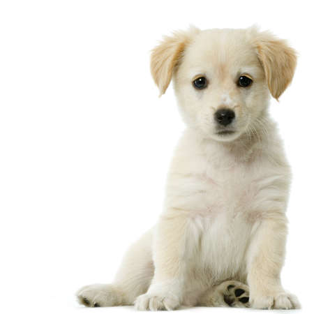 Puppy  Labrador retriever cream in front of white background and facing the camera Stock Photo - 606323