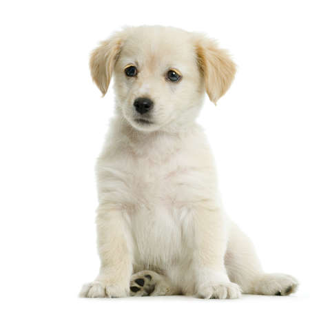 Puppy  Labrador retriever cream in front of white background and facing the camera Stock Photo - 606365