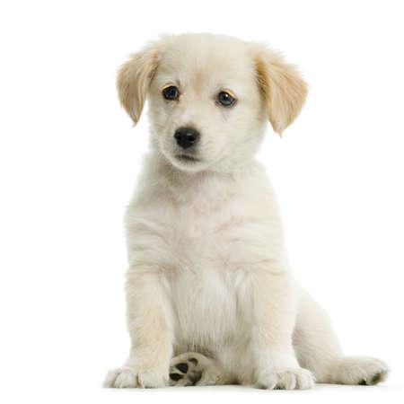 labrador retriever: Puppy Labrador retriever crema delante de fondo blanco y frente a la c�mara