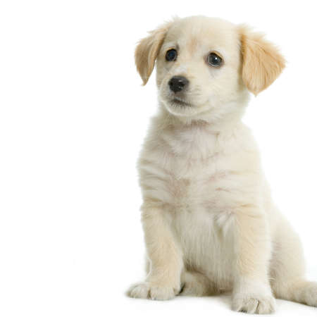 Puppy  Labrador retriever cream in front of white background and facing the camera Stock Photo - 606181