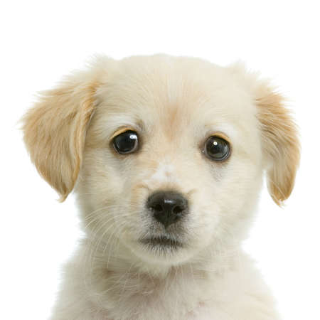 lap dog: Puppy  Labrador retriever cream in front of white background and facing the camera Stock Photo