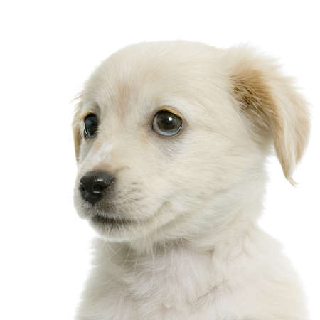 Puppy  Labrador retriever cream in front of white background and facing the camera Stock Photo - 606331