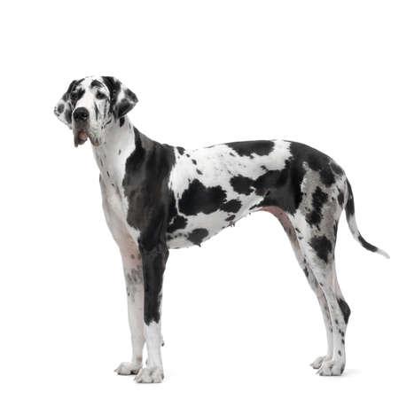 arlecchino: Dane grande HARLEQUIN in piedi di fronte a sfondo bianco
