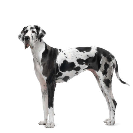 Great Dane HARLEQUIN standing in front of white background Stock Photo