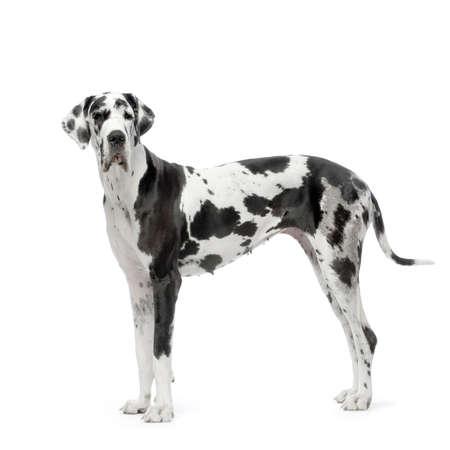 arlecchino: Great Dane HARLEQUIN davanti a sfondo bianco Archivio Fotografico
