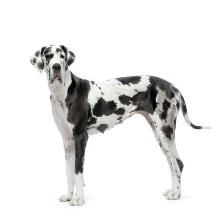 Great Dane HARLEQUIN standing in front of white background photo