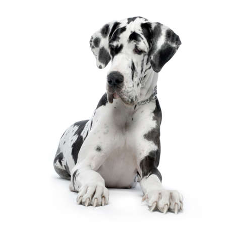 Great Dane HARLEQUIN sitting In front of white background photo