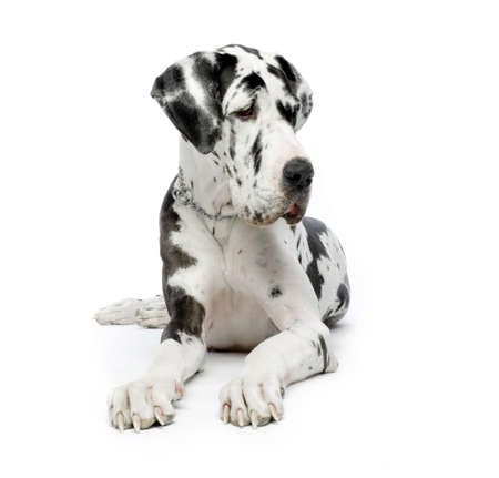 Great Dane HARLEQUIN sitting In front of white background Stock Photo - 606357