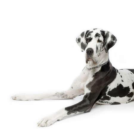 arlecchino: Great Dane HARLEQUIN seduta di fronte sfondo bianco Archivio Fotografico