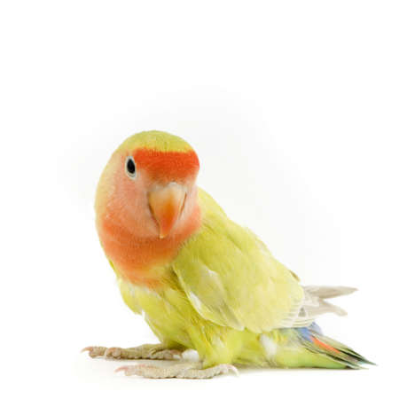 perching: love bird in front of a white background Stock Photo