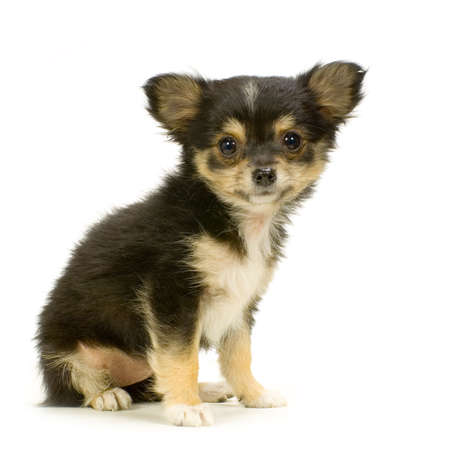 long haired chihuahua puppy sitting in front of white background Stock Photo