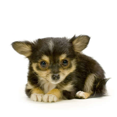 long haired chihuahua: long haired chihuahua puppy lying in front of white background