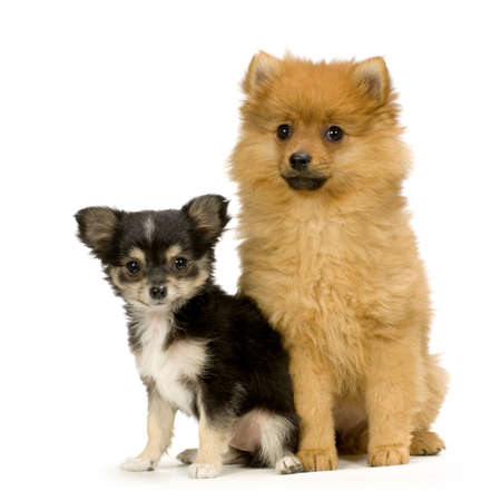 couple one long haired chihuahua and a spitz in front of a white background photo