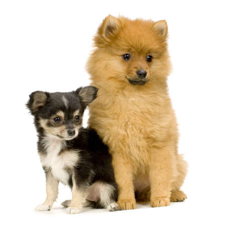 long haired chihuahua: couple one long haired chihuahua and a spitz in front of a white background Stock Photo