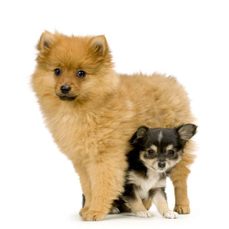 pet grooming: couple one long haired chihuahua and a spitz in front of a white background Stock Photo