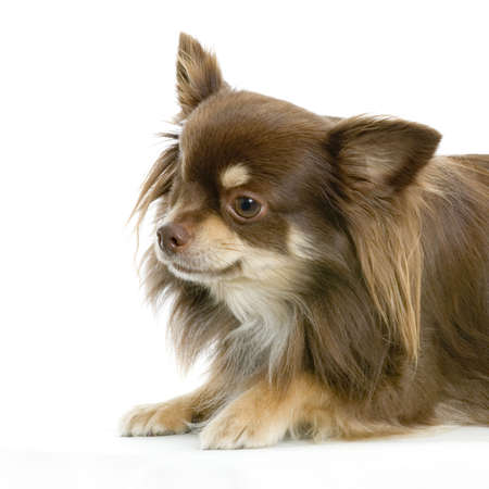 brown haired: Long haired chihuahua brown in front of white background