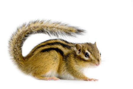 furry tail: squirrel in front of a whit background