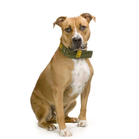 stocky: American Staffordshire terrier sitting in front of a white background a facing the camera