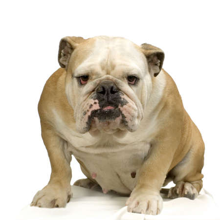english bulldog puppy: english bulldog cream and white standing in front of white background Stock Photo