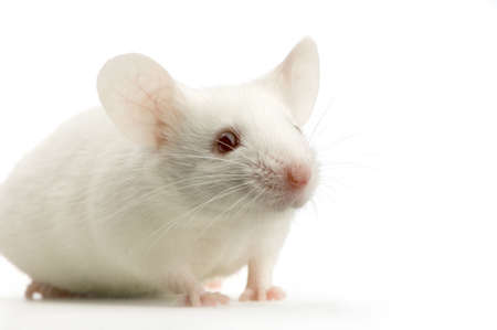 mouse: White Mouse in front of a white background