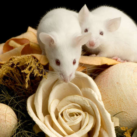 White Mouse in front of a white background Stock Photo - 654034