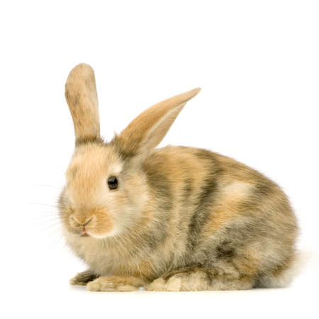 Rabbit watching the camera in front of a white background Stock Photo - 654023