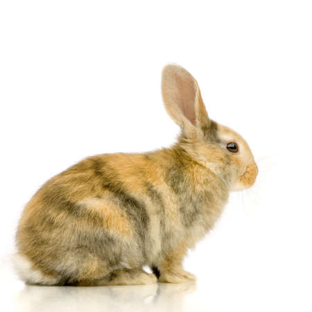 Rabbit watching the camera in front of a white background Stock Photo - 654020
