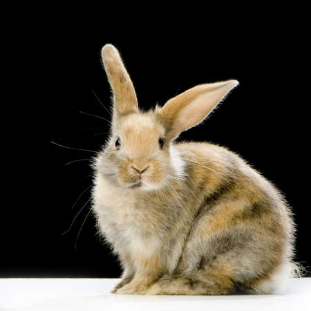 Rabbit watching the camera in front of a black background